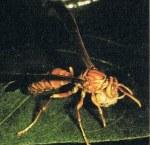 tawon memakan sisa ulat